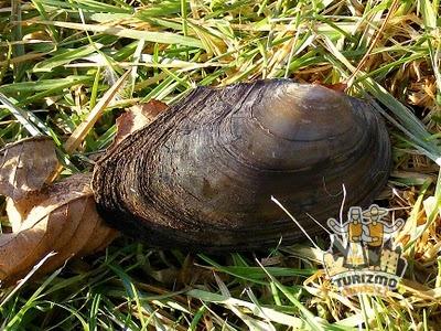 Lietuvos moliuskai